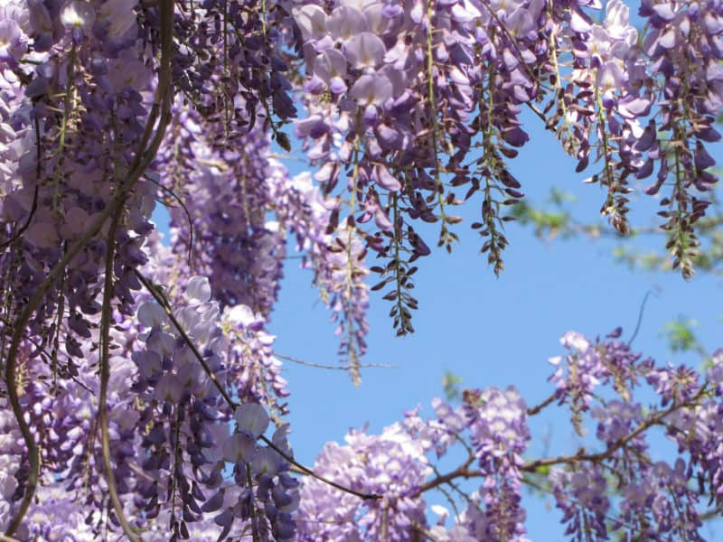 Purple blossoms in Rome