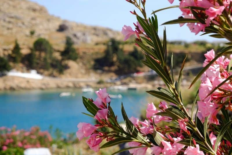 Flowers in St Paul's Bay, Rhodes
