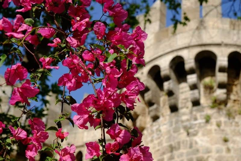 Exterior of the Palace of the Grand Master of the Knights of Rhodes, with bougainvillea in foreground