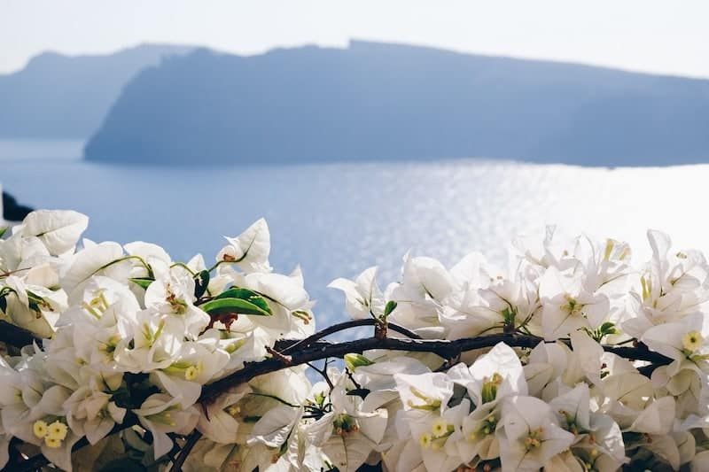 Santorini view with white flowers in foreground