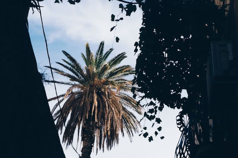 Date palm tree in Dubrovnik Old Town