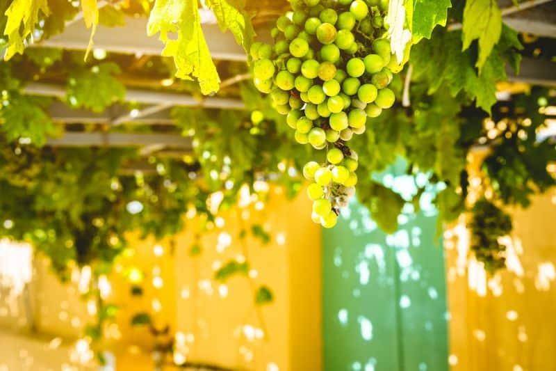 Grapes hanging against yellow walls, Kefalonia