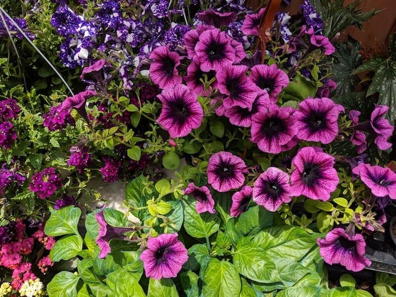 purple flowers for sale in Skopelos Town
